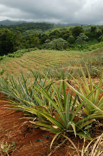 photo: ananas planche: campagne