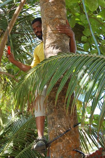 photo: coco planche: cocotier