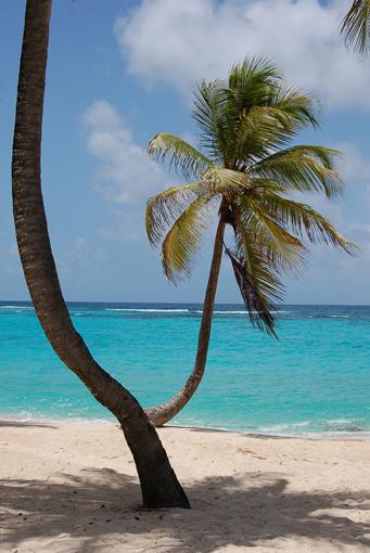 photo: greffe planche: cocotier